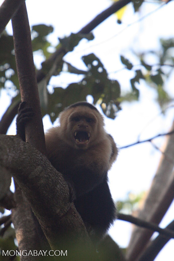 White-faced Capuchin baring its fangs