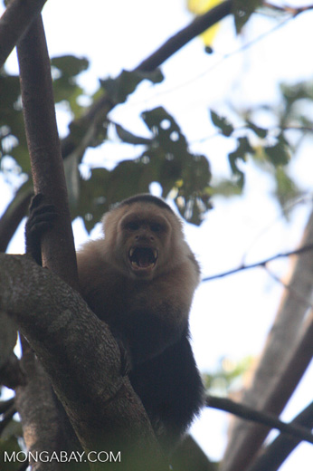 White-faced Capuchin baring its fangs [costa_rica_5140]