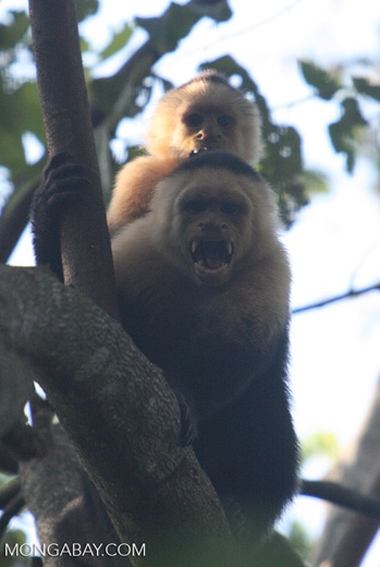 White-faced Capuchin baring its fangs [costa_rica_5142]