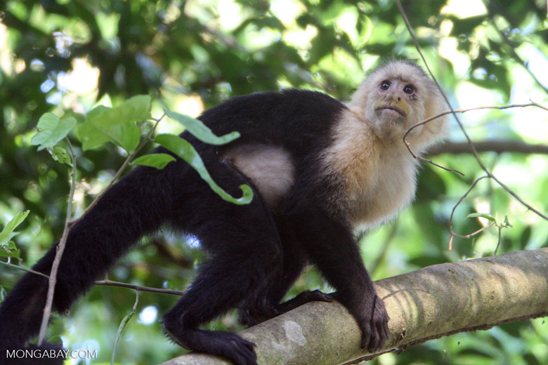 White-faced Capuchin [costa_rica_5152]