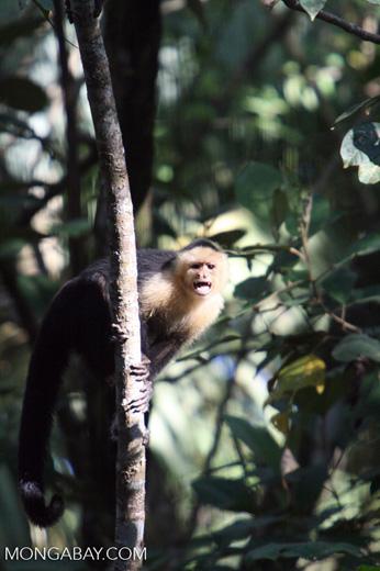 White-faced Capuchin [costa_rica_5156]