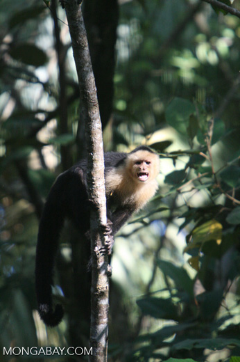 White-faced Capuchin [costa_rica_5158]