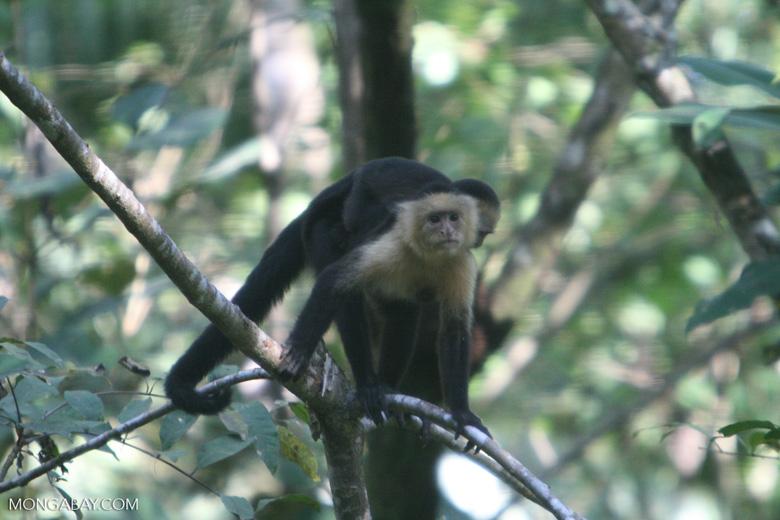 White-faced Capuchin [costa_rica_5166]