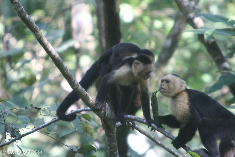 White-faced Capuchin [costa_rica_5169]