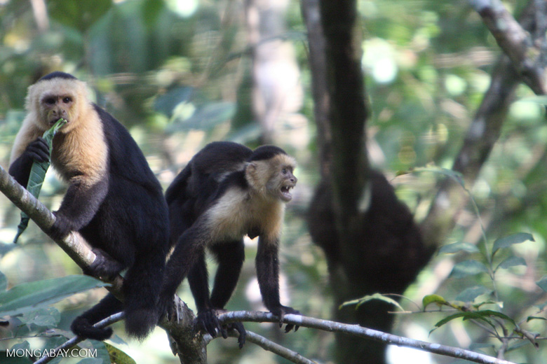 White-faced Capuchin [costa_rica_5174]