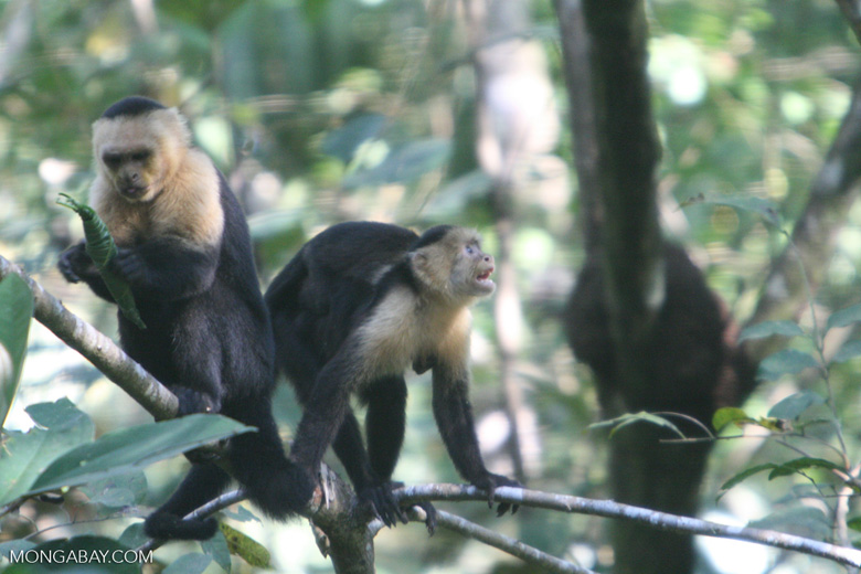 White-faced Capuchin [costa_rica_5176]