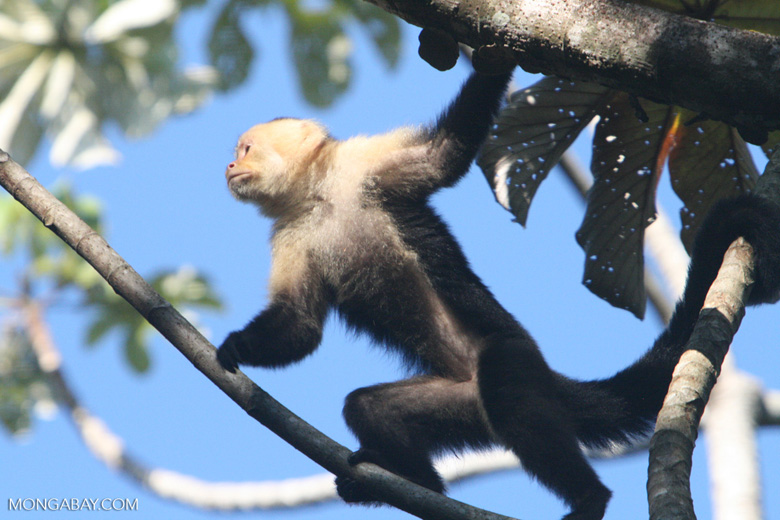White-faced Capuchin [costa_rica_5192]
