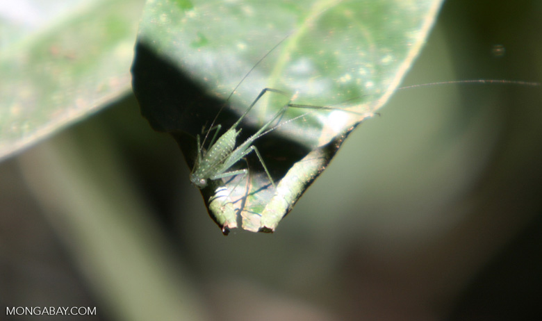 Green katydid [costa_rica_5237]