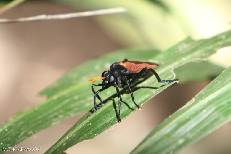 Black wasp-like insect with indigo blue eyes, orange wings, and orange antenna.  This robber fly or mydas fly, (Asilidae or Mydidae family) is a mimic of the Tarantula Hawk Wasp (Pepsis formosa) [costa_rica_5275]
