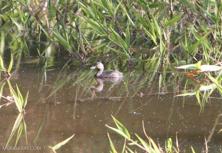Small gray grebe or duck