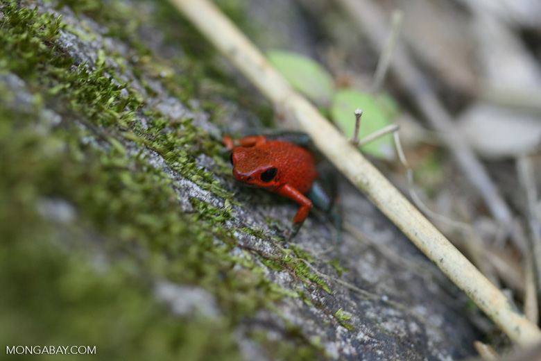 Red and green poison arrow frog (Dendrobates granuliferus)