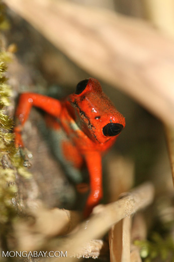 Red and green arrow poison frog (Dendrobates granuliferus)