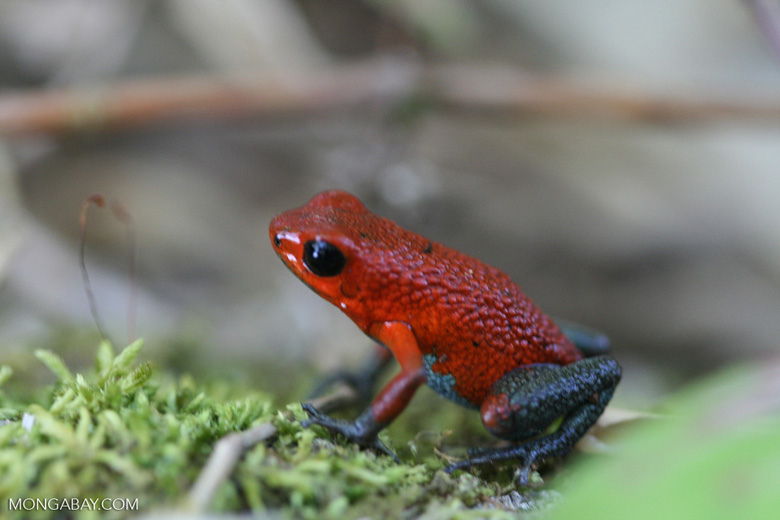Red-and-green poison arrow frog (Dendrobates granuliferus) [costa_rica_5374]