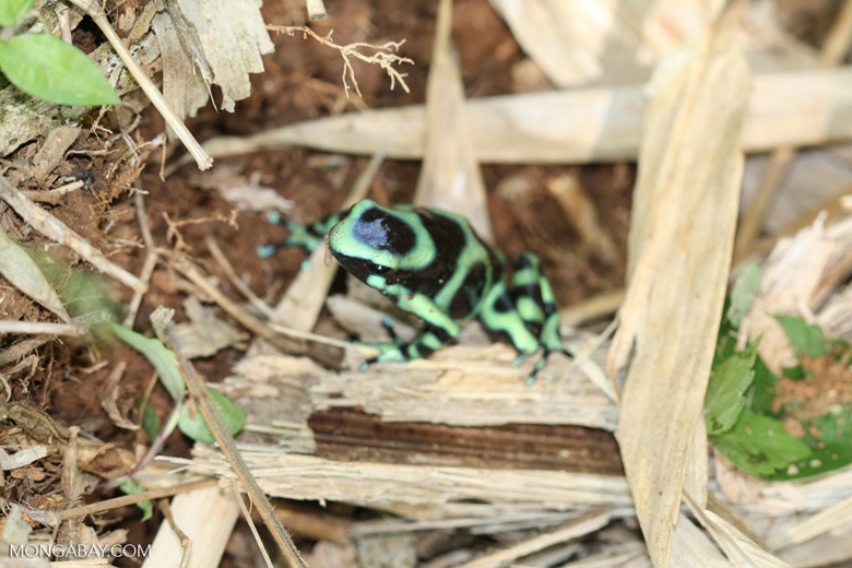 Green-and-black poison dart frog (Dendrobates auratus)