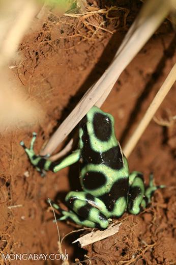 Green-and-black poison dart frog (Dendrobates auratus) [Caribbean variant] [costa_rica_5389]