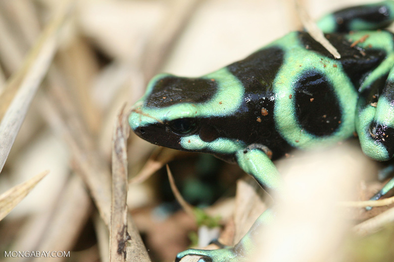 Green-and-black poison dart frog (Dendrobates auratus) [Caribbean variant]