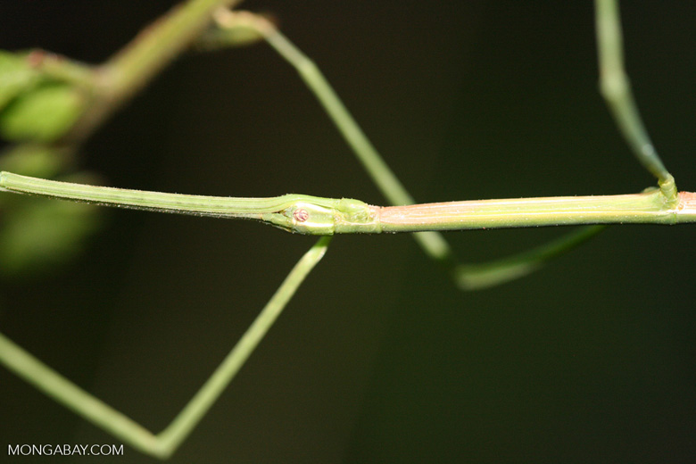 Walking stick insect [costa_rica_5414]