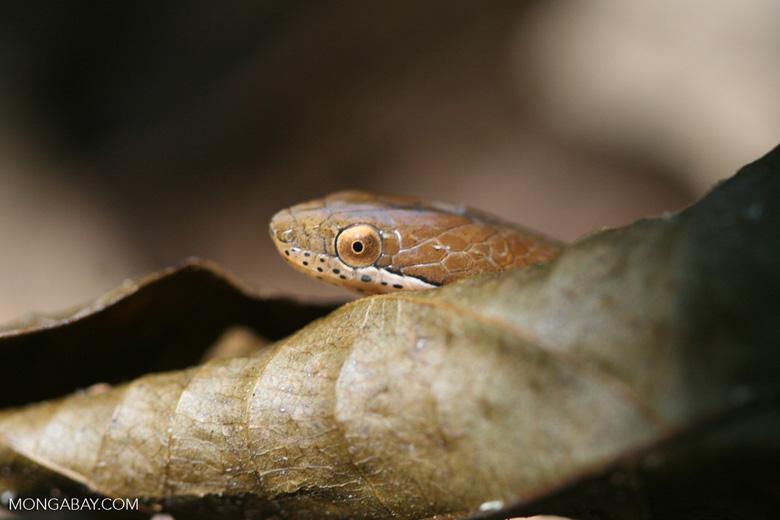 Brown leaf litter snake