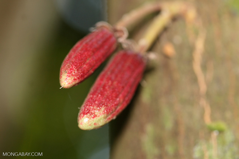 Young cacao pods