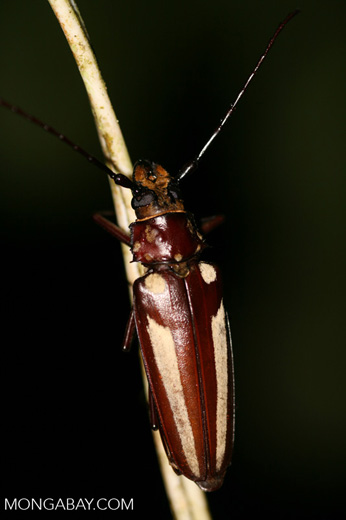 Giant brown Long-horned Beetle (Callipogon lemoinei) (female)