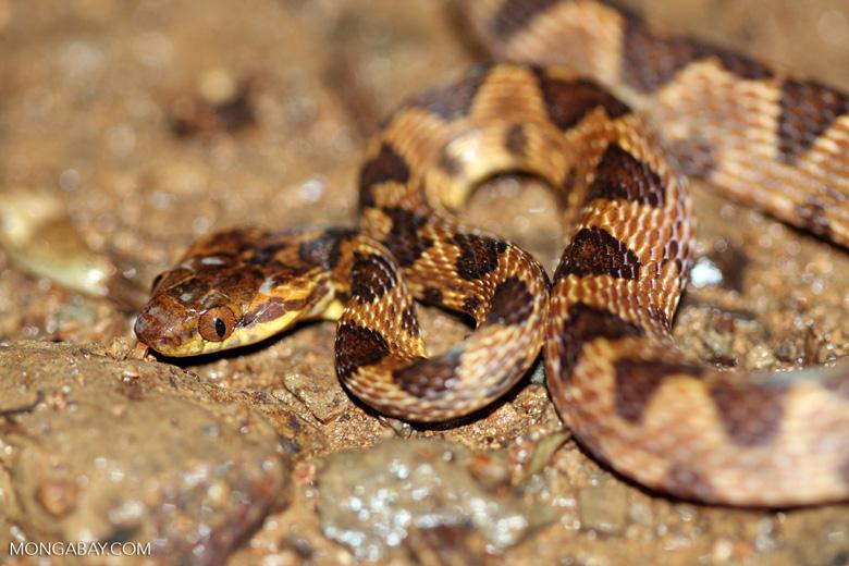 Common chunk headed snake - Imantodes cenchoa [costa_rica_5513]
