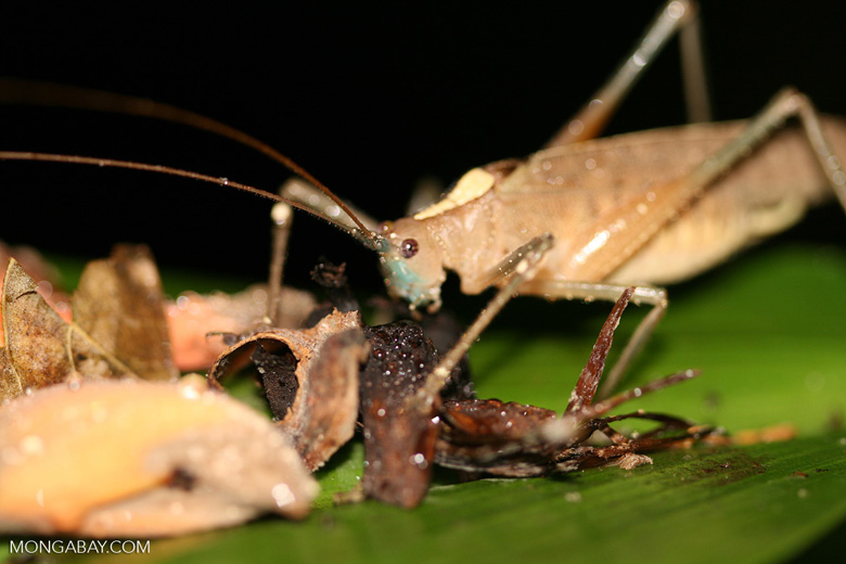 Beige katydid feeding [costa_rica_5532]