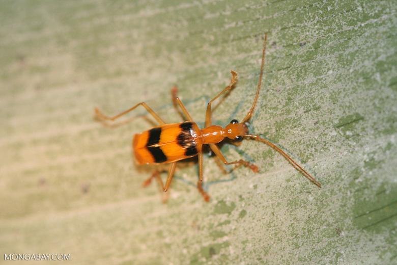 Orange and black weevil