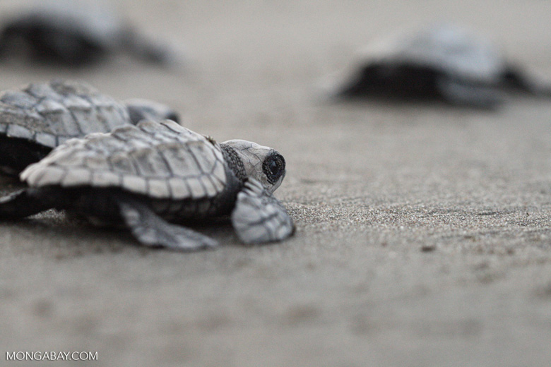 Baby sea turtles headed toward the sea