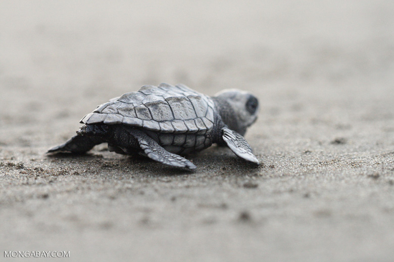 Baby sea turtle ocean-bound