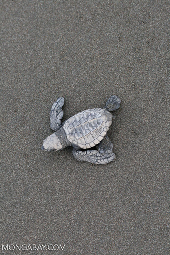 Hatchling Olive ridley sea turtle [costa_rica_5686]
