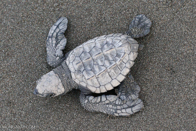 Hatchling Olive ridley sea turtle [costa_rica_5686a]