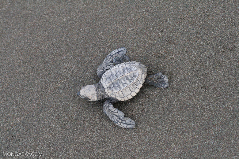 Hatchling Olive ridley sea turtle [costa_rica_5687]