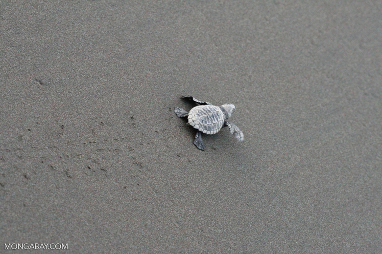 Hatchling Olive ridley sea turtle [costa_rica_5689]