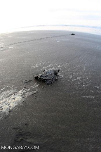 Hatchling Olive ridley sea turtle headed out to sea [costa_rica_5703]