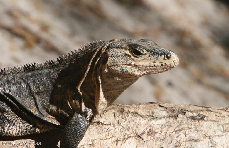 Spiny-tailed iguana [costa_rica_5734]