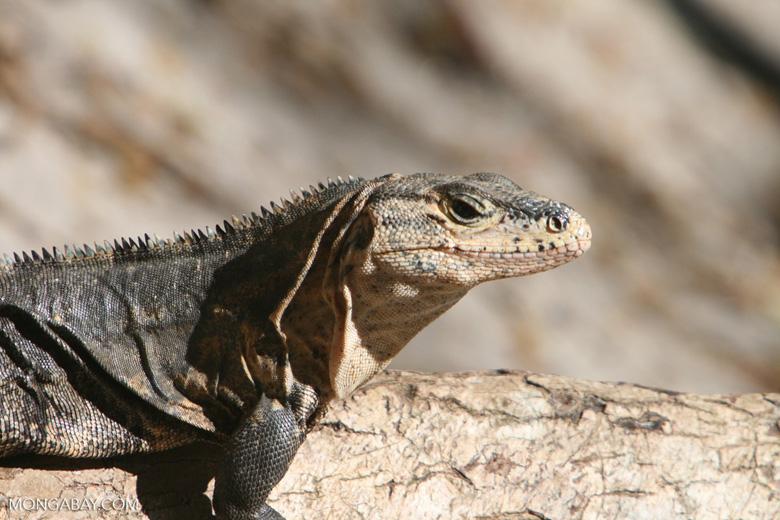 Spiny-tailed iguana [costa_rica_5737]