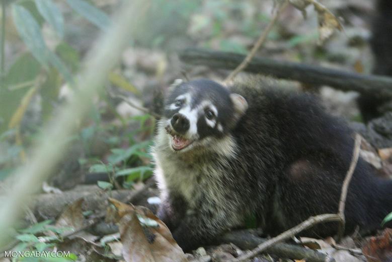 White-faced Coatimundi (Nasua narica)