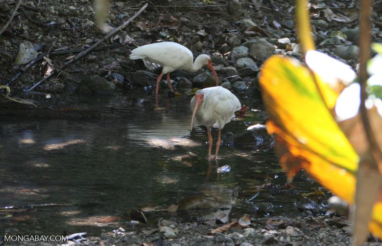 White ibis, Eudocimus albus [costa_rica_5818]