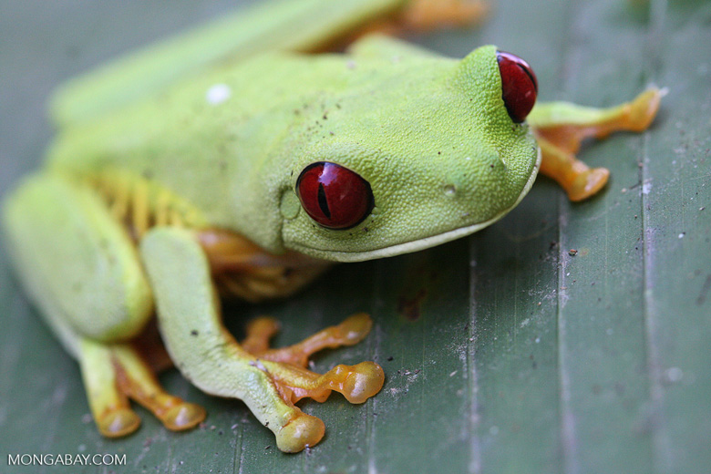 Red-Eyed Tree Frog [costa_rica_5830a]