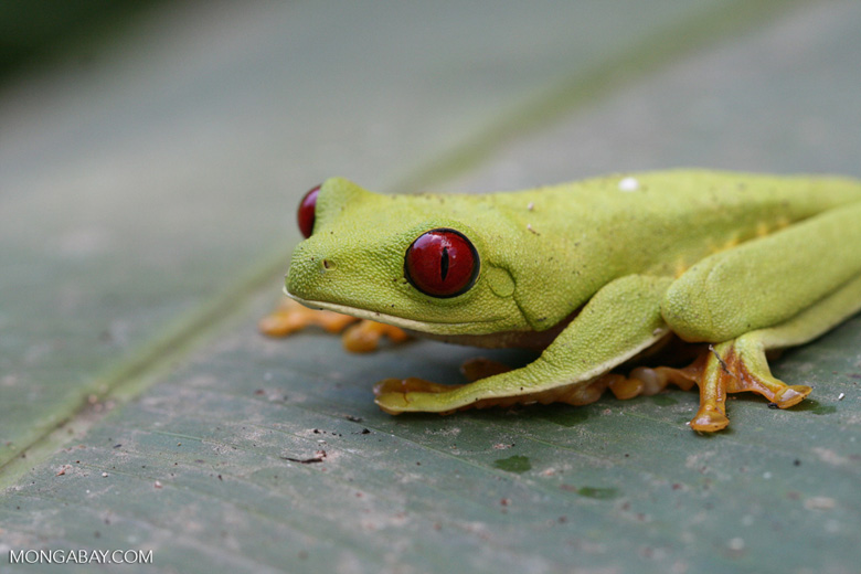 Red-Eyed Tree Frog [costa_rica_5858]