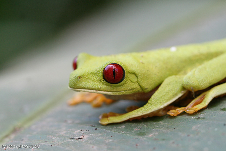 Red-Eyed Tree Frog (Agalychnis callidryas) [costa_rica_5873]