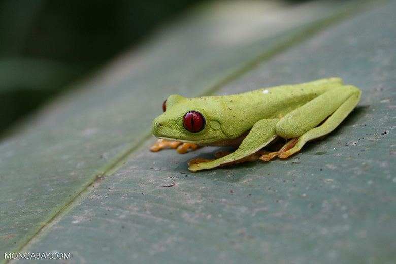 Red-Eyed Tree Frog in a banana leaf