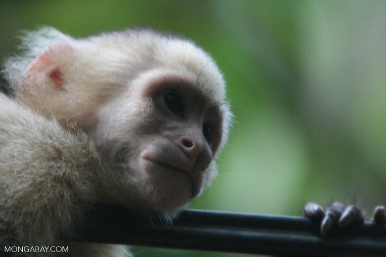 Costa Rican capuchin monkey headshot [costa_rica_6027]