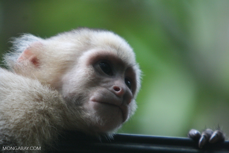 Costa Rican capuchin monkey headshot