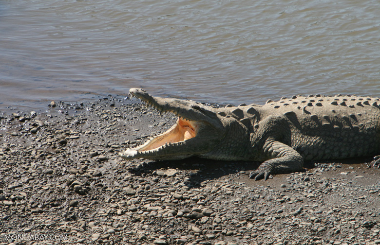 American Crocodile (Crocodylus acutus) showing its teeth