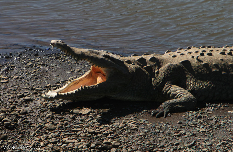 American Crocodile (Crocodylus acutus) with its mouth open [costa_rica_6040]