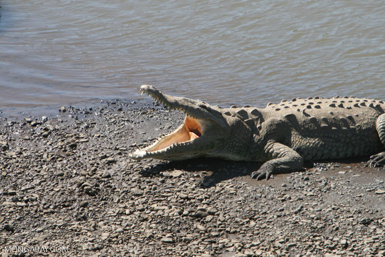 American Crocodile (Crocodylus acutus) with its mouth open [costa_rica_6043]