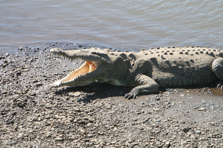 American Crocodile (Crocodylus acutus) [costa_rica_6047]