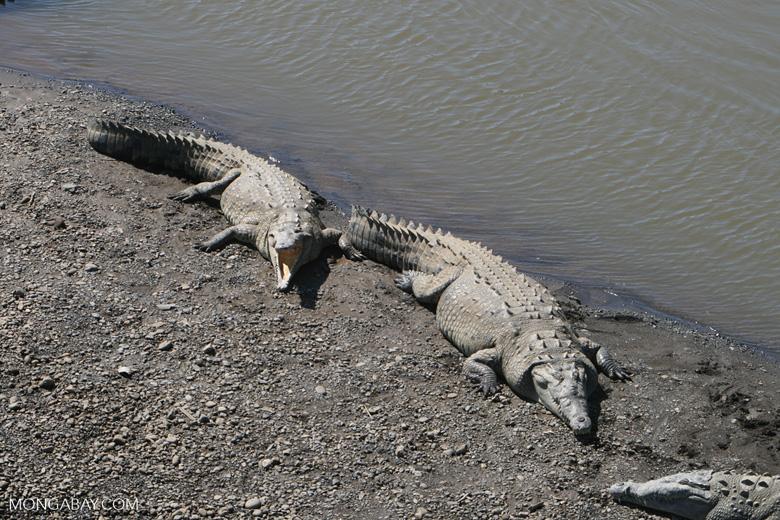 American Crocodiles in the Tarcoles river [costa_rica_6054]