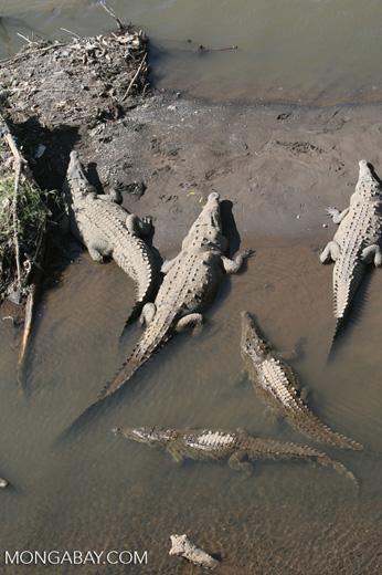 American Crocodiles in the Tarcoles river [costa_rica_6056]